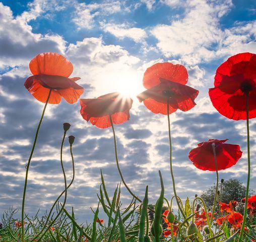 poppies-4291706__480